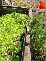Have you planted your lettuce and radishes? It is not too late to put in these cool-weather crops.