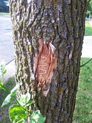 Larval tunnels of the emerald ash borer disrupts the flow of water and nutrients, and ultimately kills the tree.