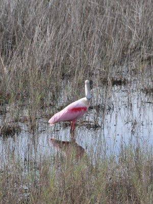 Merritt Island National Wildlife Refuge's Blackpoint Wildlife Drive is a great place to spot shore and wading birds like the roseate spoonbill.