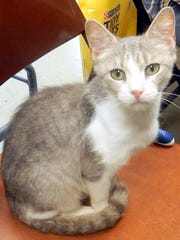 Lucy is a 3-year-old gray and white female who looks