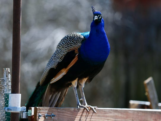 A male peacock at Dolores Halbin's house on Wed. March
