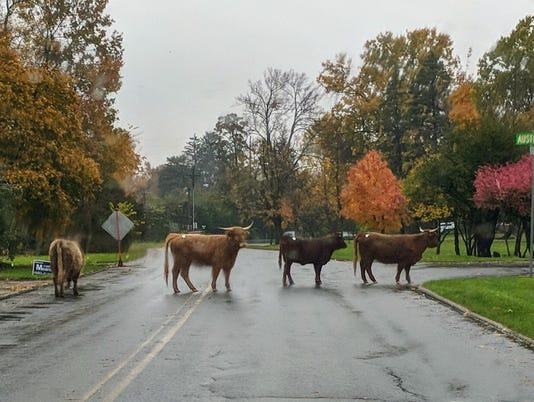 636455637858809617-steers.jpg