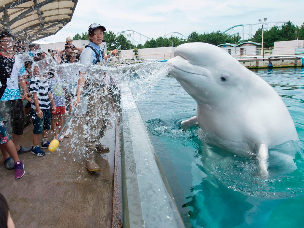 A beluga whale sprays water towards visitors during a summer attraction at the Hakkeijima Sea Paradise aquarium in Yokohama, suburban Tokyo on July 16, 2017.