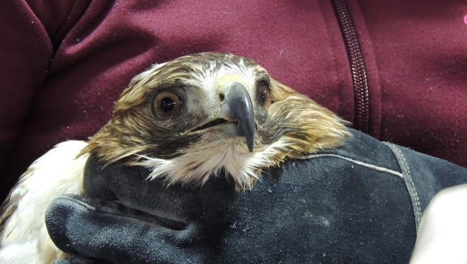 This red-tailed hawk continues to slowly recover from lead poisoning.