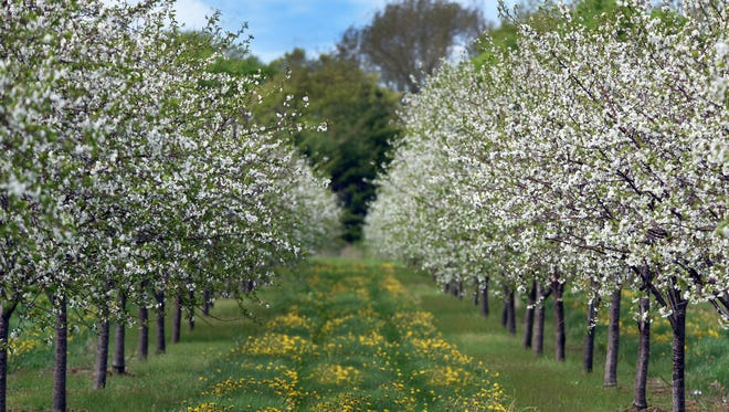 Cherry trees in bloom at Choice Orchards north of Sturgeon Bay in 2016.