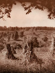 A field of corn stalks, around 1940.