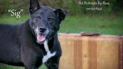 Sig, a 12-year-old black lab mix, missed out on his adoption at the Fond du Lac County Humane Society by just one day. He passed away in his kennel, but not before enjoying a day filled with walks, accompanied by shelter volunteers