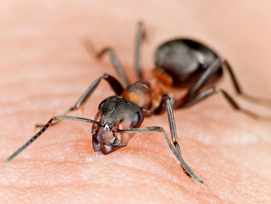 Angry ant biting human skin, extreme close-up with