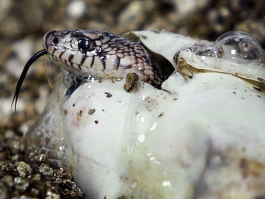 A baby Louisiana pine snake pokes its head through