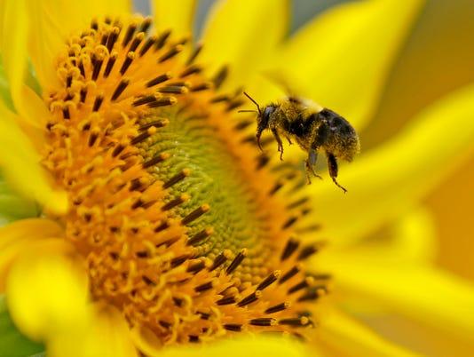 636190485145077945-MJS-sun-Flower---40845-De-Sisti.jpg