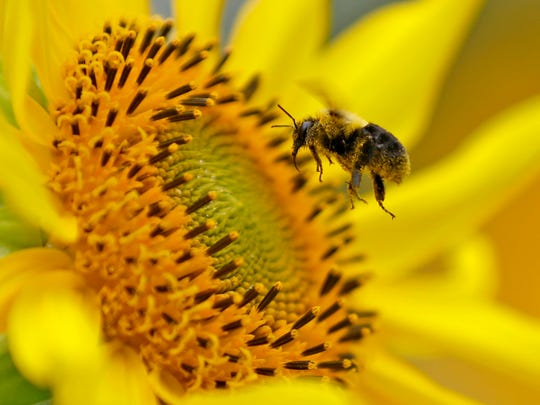 A bee collects nectar from a sunflower.