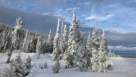Snow clings to trees along the Bristlecone Trail in