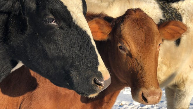 Five cows rescued from a Livingston County farm in fall 2017, are seen here on Jan. 18, 2018 as they recover at their new home, Sanctuary and Safe Haven for Animals in Manchester, a Washtenaw County place for rescued farm animals.