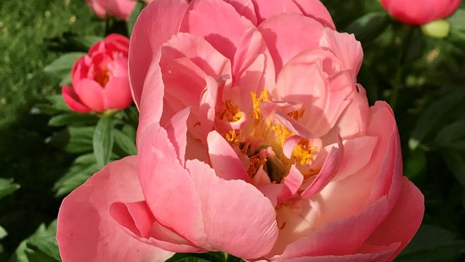 A harsh winter was hard on a lot of plants, but not peonies. They're out in force right now.