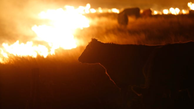 Cattle graze by a wildfire near Protection, Kan., early March 7, 2017.