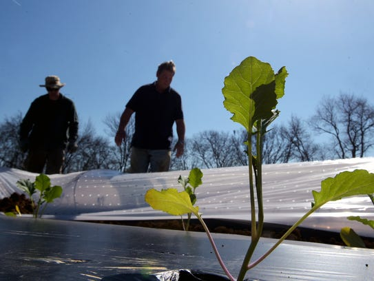 New kale plants begin to grow on Delvin Farm in College