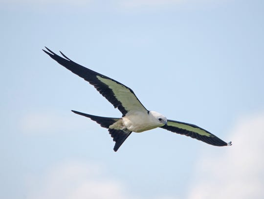 When a swallow-tailed kite soars within sight over