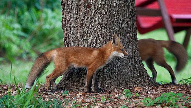 Four sick foxes, showing symptoms similar to that of the rabies virus, were seized in Wakulla in the last two weeks.