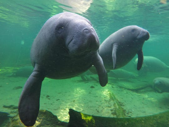 Manatees find refuge in the warm waters of Blue Spring at Blue Spring State Park in Florida. Your favorite human sojourner can help the chubby aquatic mammals with an Adopt-A-Manatee gift package.