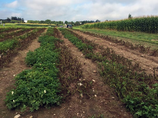 File photo from August 2017 - Canadian officials said three types of potatoes genetically engineered by an Idaho company to resist the pathogen that caused the Irish potato famine are safe for the environment and safe to eat.