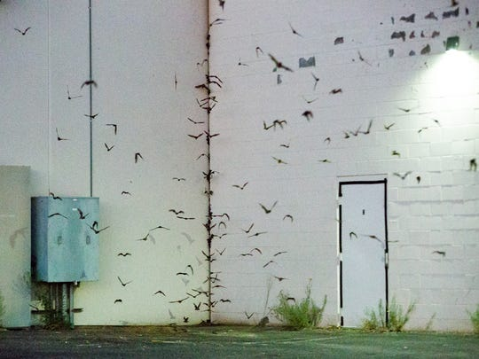 Thousands of bats exit out of a small gap between the west facing walls of the Del Rey Plaza at dusk on Friday, June 9, 2017.
