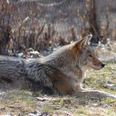 A coyote at Bay Beach Wildlife Sanctuary in Green Bay.