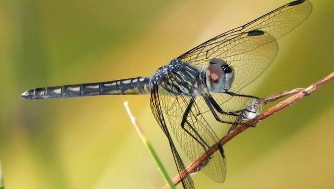 Blue Dasher, female