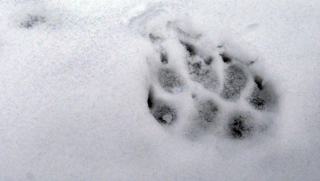 A wolf track, imprinted in the snow,  was left near the carcass of an elk in Avery, Idaho.