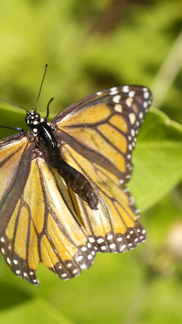 A Monarch butterfly lays eggs on a Milkweed plant.