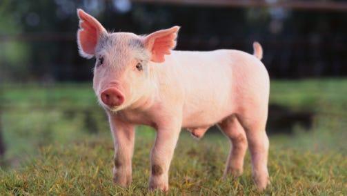 Yorkshire Pig on Grass
