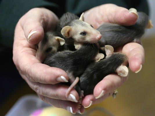 Lead possum