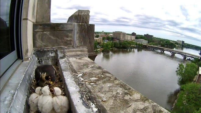 Peregrine falcon Louise feeds her three chicks atop the Register Star News Tower in downtown Rockford on Wednesday, June 3, 2020. This photo was taken from a screenshot of a live video of the birds. The public is being invited to name the chicks.