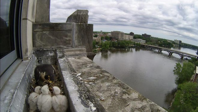 Peregrine falcon Louise feeds her three chicks on June 3 atop the Register Star News Tower in downtown Rockford. The birds will be named and banded June 16.