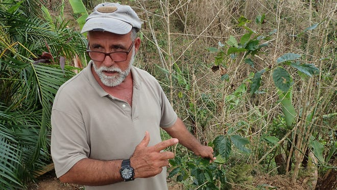 Farmer José Roig in Puerto Rico inspects plants on his coffee plantation, which was hit hard by Hurricane Maria. The yellowish spots are a fungus that was here before the storm but has spread now that the plants are weakened.