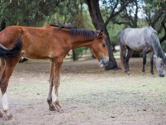 PNI Salt River Horses