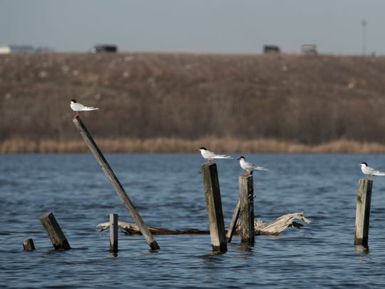 Forster's terns at the Kearny Marsh in the Meadowlands,
