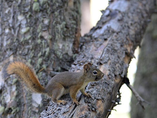 z Red squirrel