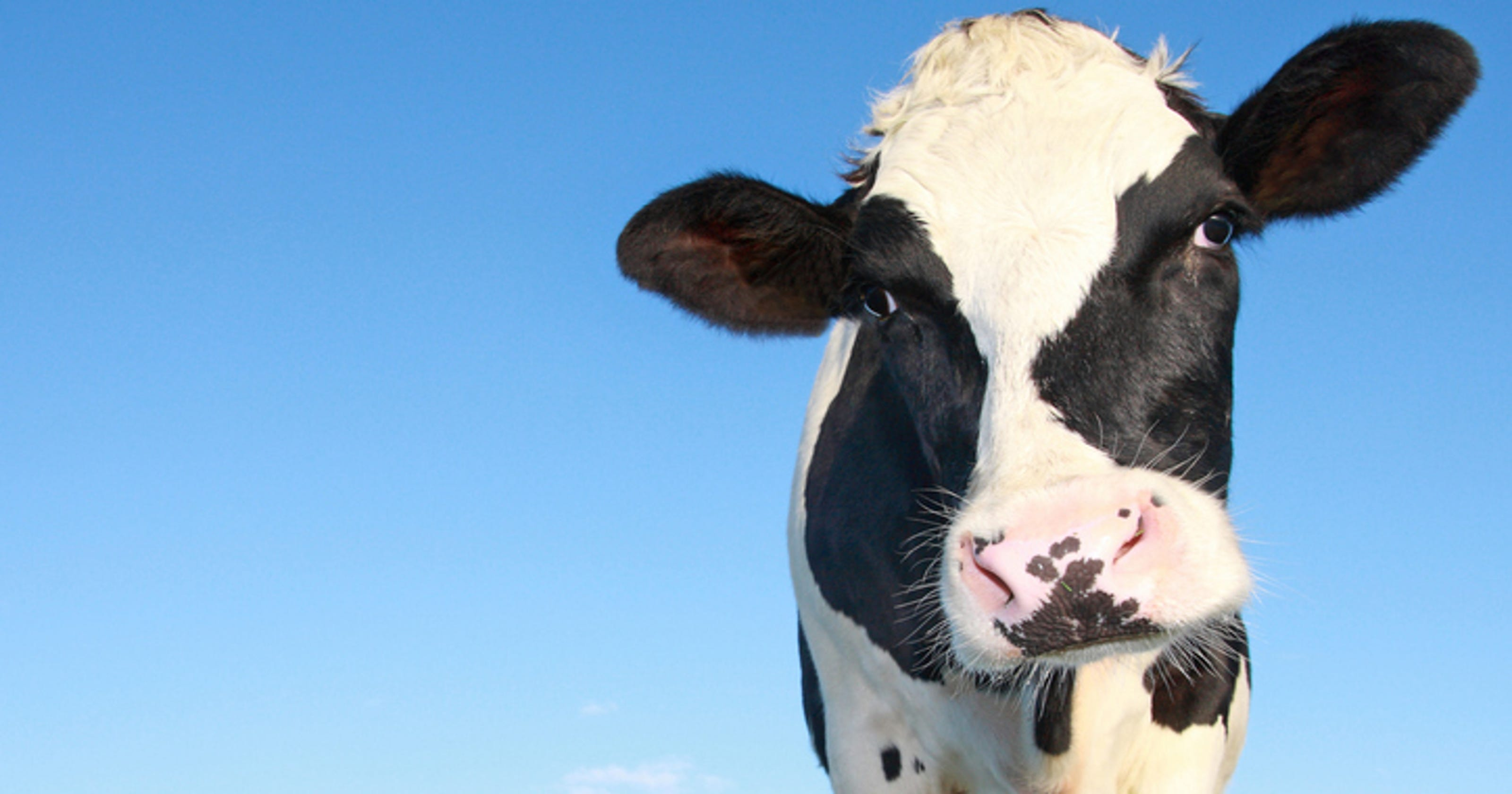 Study finds organic milk cleaner than conventional dairy