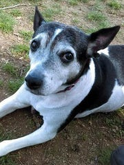 Alice is an adult, spayed female rat terrier mix. She