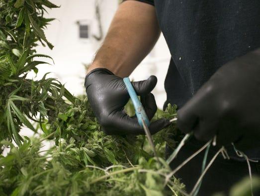 Marijuana is harvested at the True Harvest growing