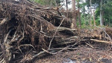 A section of Audubon's Possum Long Nature Center in Stuart, maintained by the Garden Club of Stuart, was hard hit by Hurricane Irma. A large banyan, along with several other mature trees, was toppled, completely destroying surrounding undergrowth.