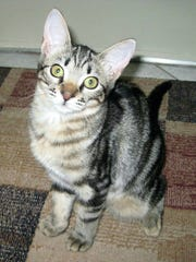Delilah is missing from St. Andrews Boulevard and Quail Hollow in Lely Golf Estates.