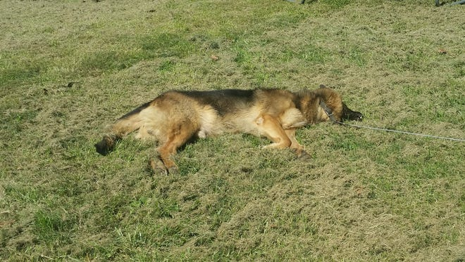 A photo of Jax, a 7-year-old German Shepherd, after being shot to death last year by an Augusta County investigator.