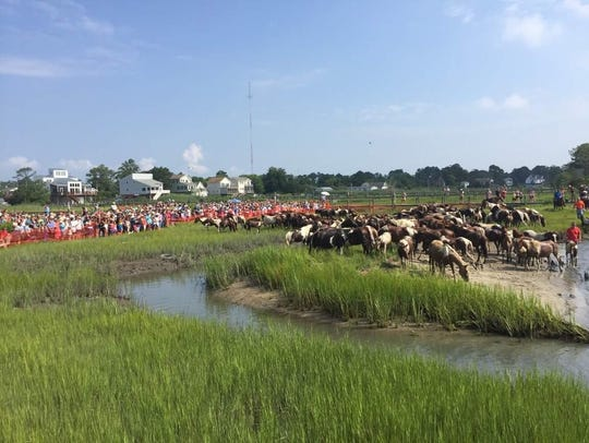 Crowds watch as the Chincoteague ponies rest after