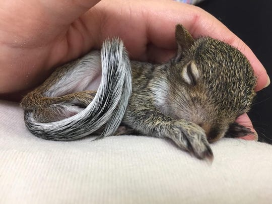 An orphan baby squirrel that was brought to Busch Wildlife