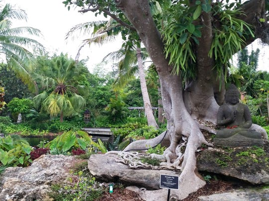 Before Hurricane Irma: A strangler fig grows in the Asian Garden at Naples Botanical Garden on May 4, 2016.
