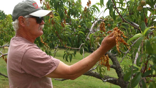 Russ Joudrey shows the damage that cicadas have done to his peach trees at Apple Hill Orchard on Friday afternoon. Joudrey estimates that he has lost a third of his crop from the bugs chewing on the branches of the trees.