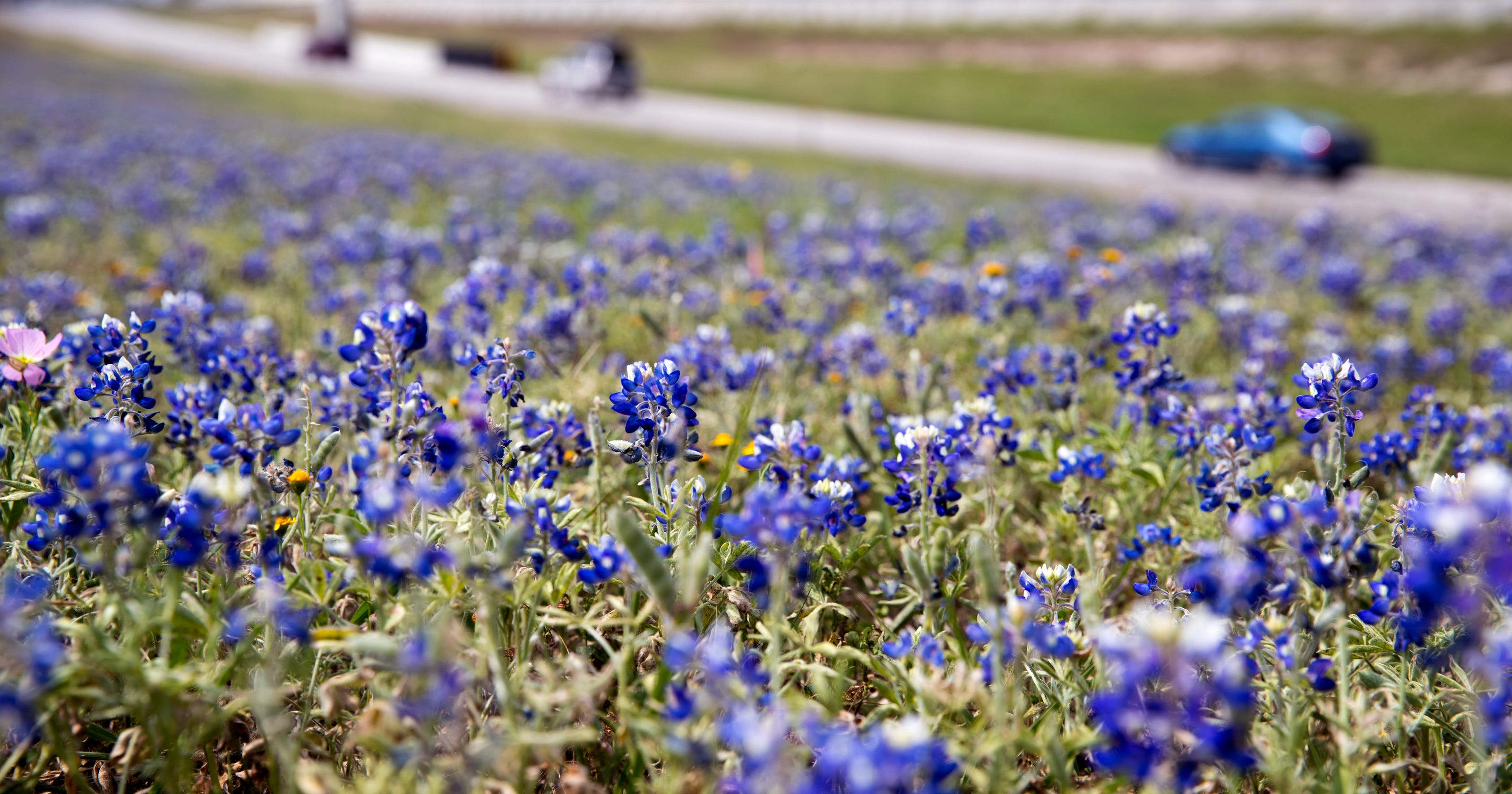 Bluebonnets And Where You Can Find Them In Corpus Christi