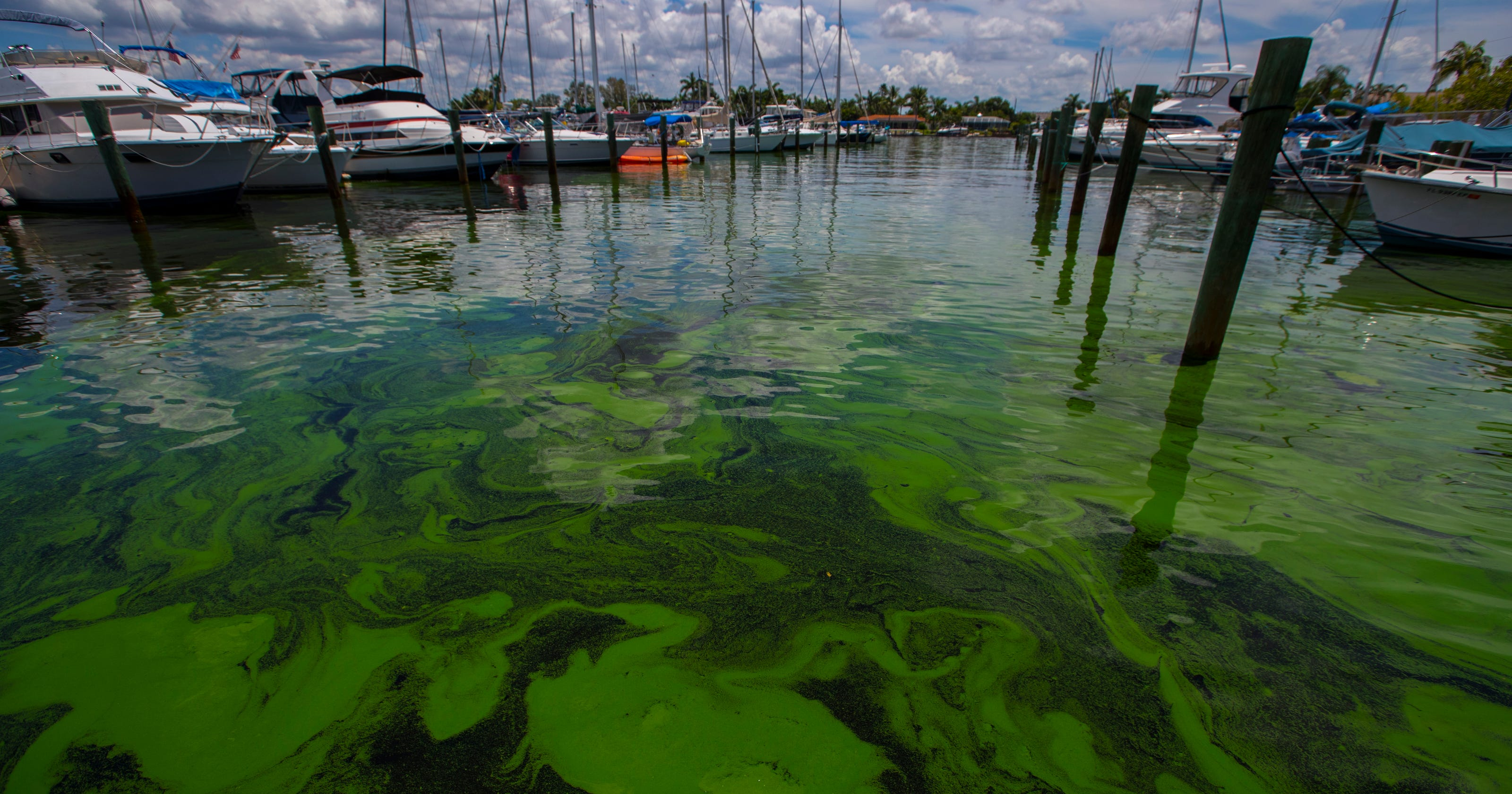 florida toxic algae local experts say everglades restoration is key