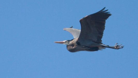 One of a number of great blue herons nesting in a rookery near the Kensington Metropark's Nature Center takes flight March 22.